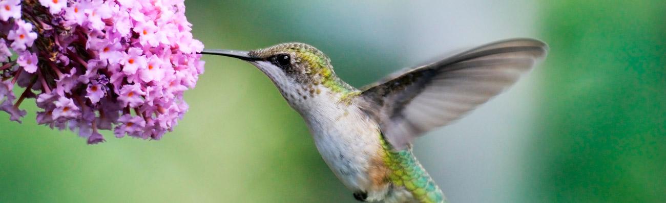 main-image-hummingbird